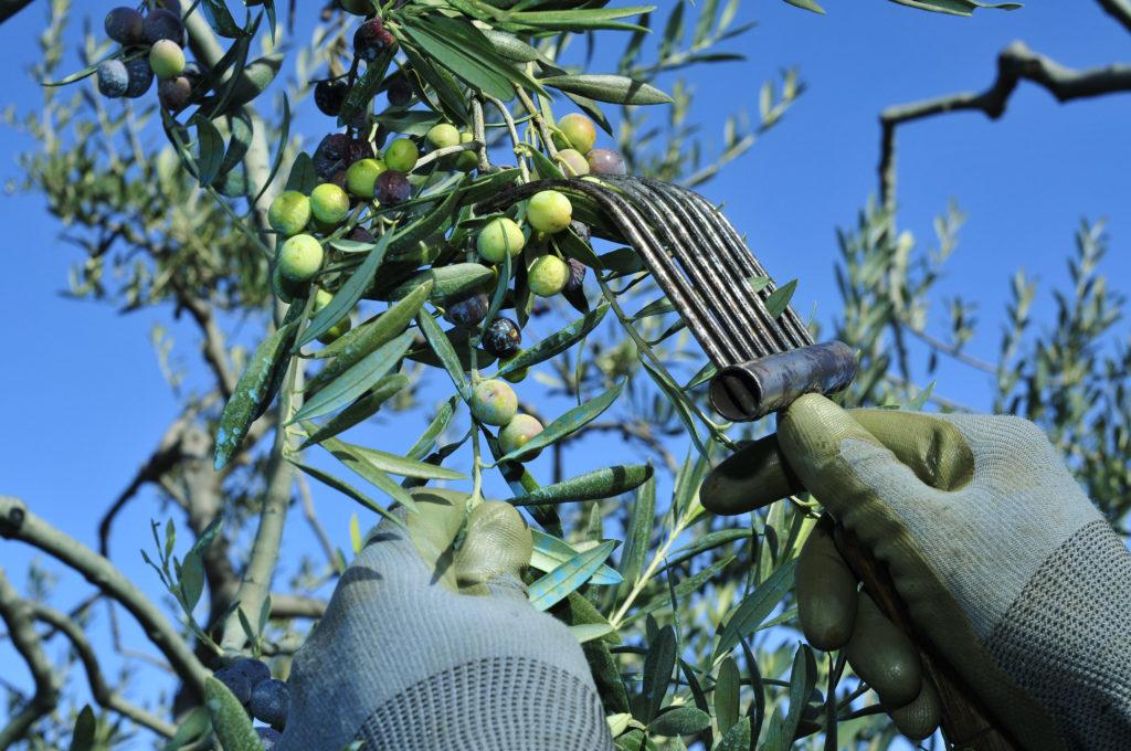 sbor olivki urojay 1024x680