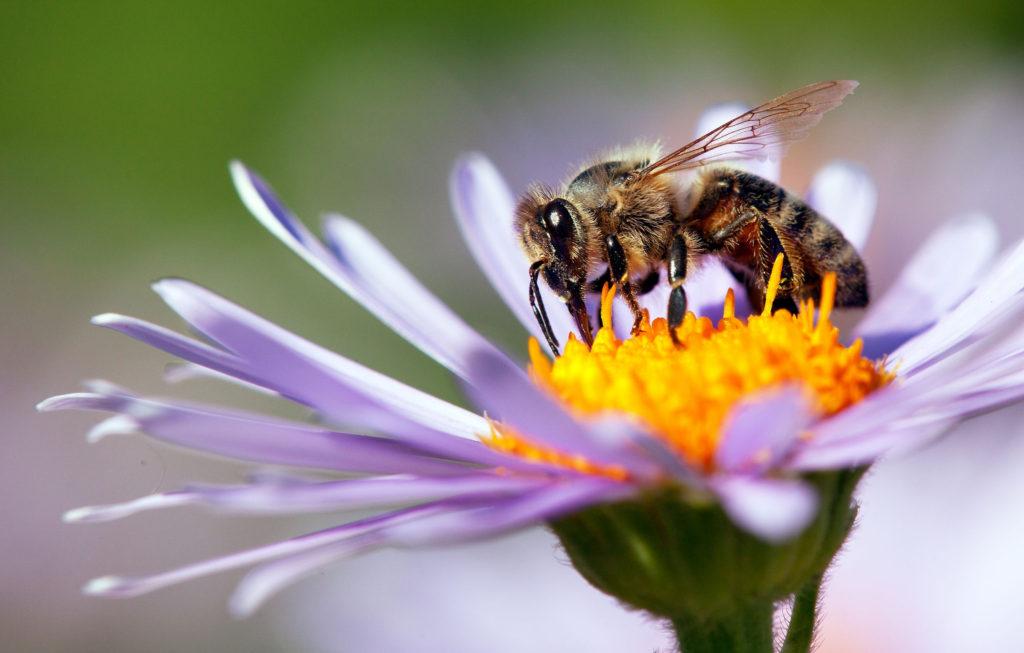 пчела Apis mellifera