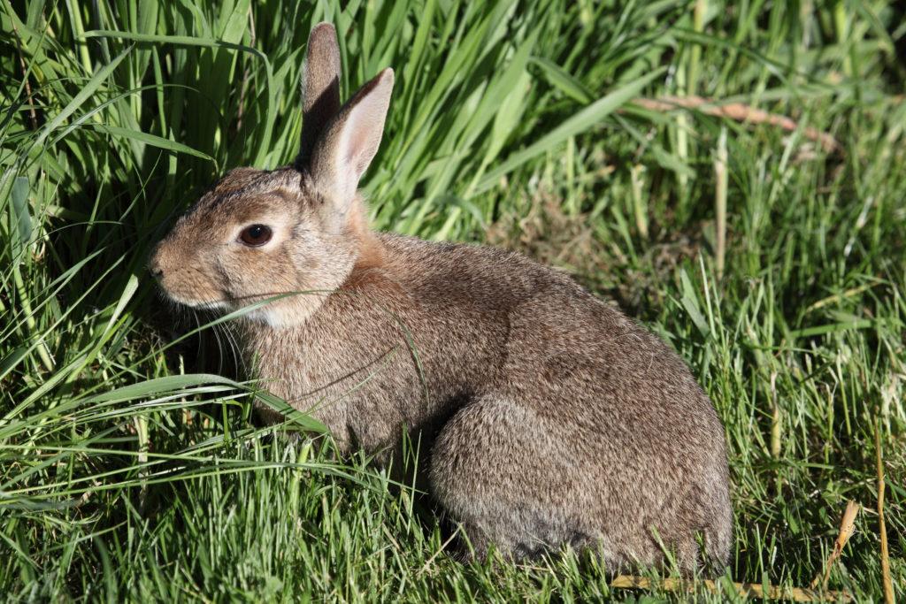 австралийский дикий кролик