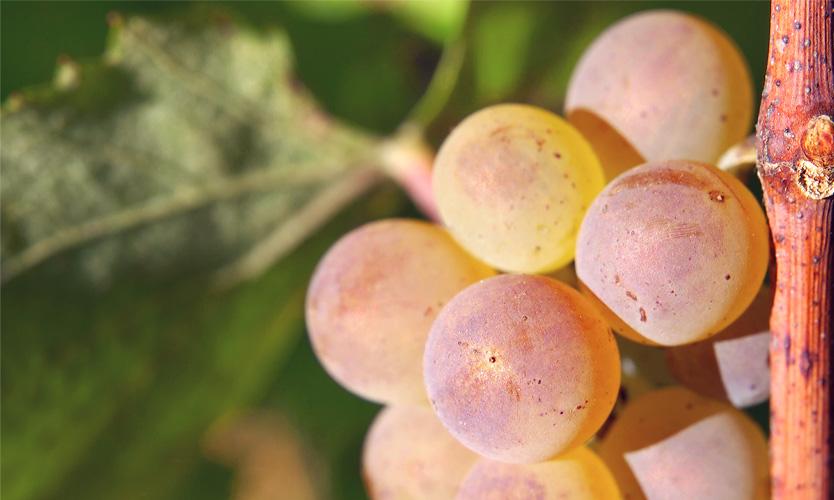 vine aligote