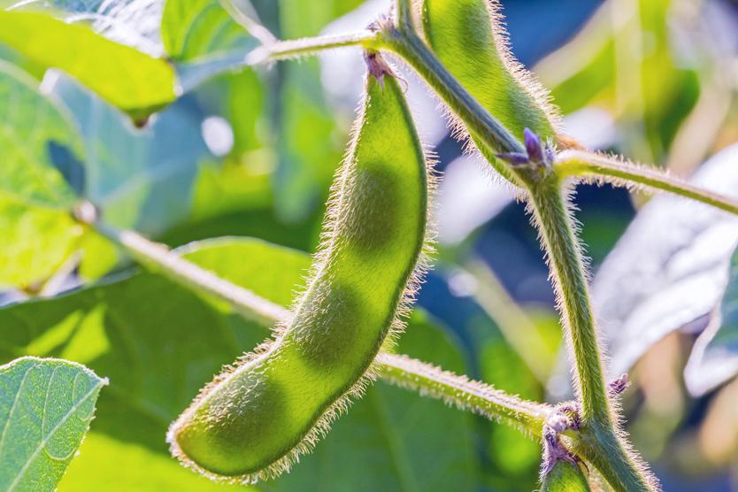 struchok plant