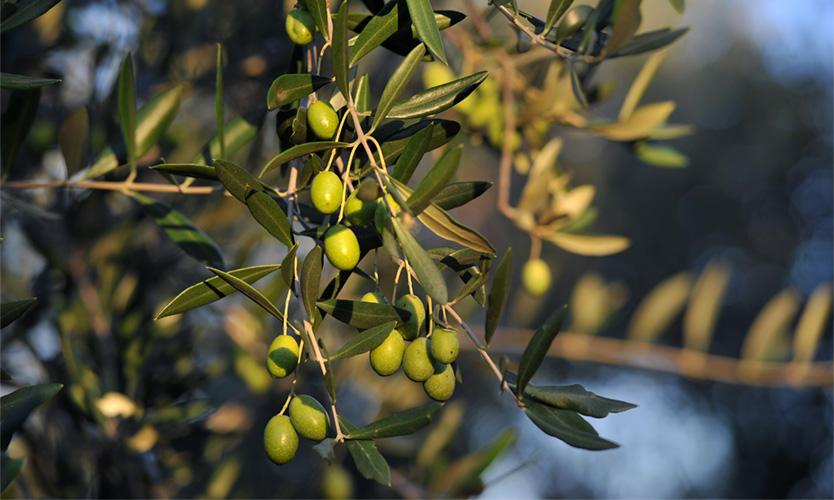 olives turri