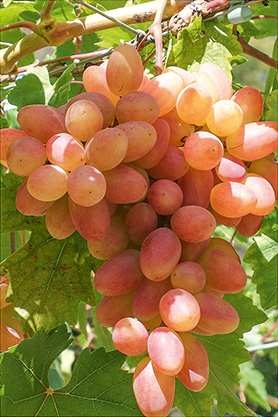 ferm vinograd grozd