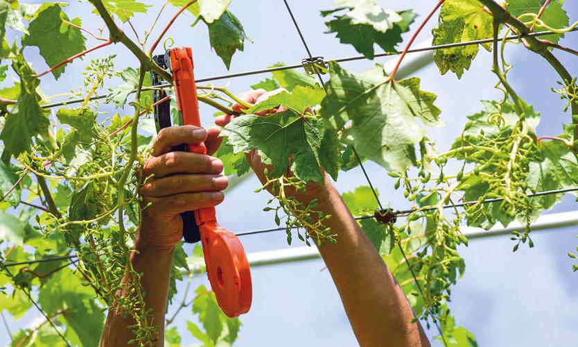 ferm vinograd rez